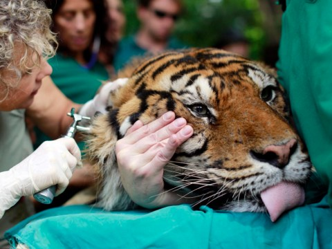 Video: Tiger gets acupuncture treatment for ear infection
