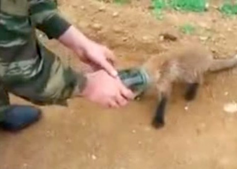Young fox gets head stuck in a jar and wanders up to two men for help