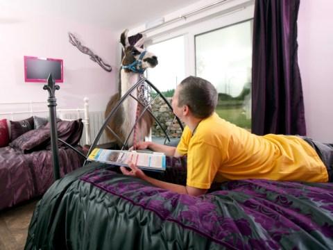 Llama keeps guests company at Cumbria bed and breakfast