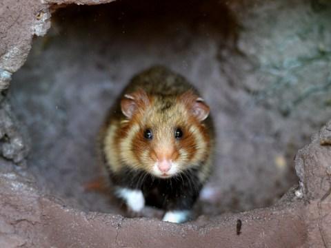 Jilted boyfriend jealous of lover's hamster releases her pet in revenge