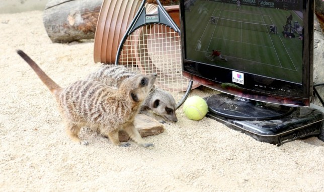 EMBARGOED 0001 MONDAY JULY 1 EDITORIAL USE ONLY: Meerkats Spud and Luna celebrate Wimbledon by watching a game of tennis on a television installed with Freesat, who are offering free sport this summer to viewers, in his enclosure at a zoo in Chipping Norton. PRESS ASSOCIATION Photo. Issue date: Monday July 1, 2013. Photo credit should read: Matt Alexander/PA