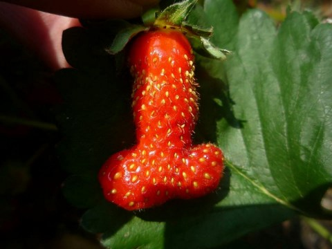 Gardener 'disappointed' by size of her penis-shaped strawberry