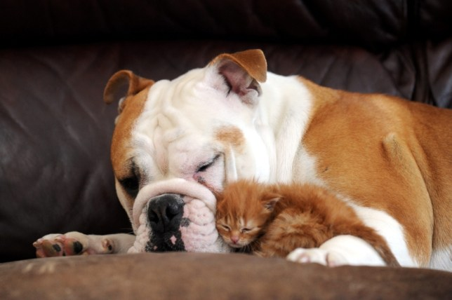 Harley the British Bulldog with his best friend Tigger the kitten. See SWNS story SWDOG: Usually this pair would be going for each other like cat and dog. But instead the adorable couple have become inseperable after bulldog Harley became an unlikely surrogate to two-week-old Tigger. The two-year-old pooch has been keeping a close eye on the tiny kitten - and has even started producing MILK to feed him. The love-affair began when rescue puss Tigger was brought home by Clare Evans, 37. The abandoned kitten had been found alone in a church and was brought into Arvonia Vets, in Cheltenham, Glos., where Clare works.