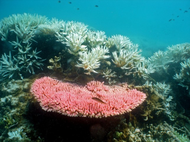 epa03795612 (FILE) An undated handout image released by the Australian Institute for Marine Science (AIMS) on 02 October 2012, shows corals at North Keppel Island on the Great Barrier Reef in Queensland, Australia. Media reports on 21 July 2013 state that US Navy jets from the carrier 'USS Bonhomme' dropped bombs close to the Great Barrier Reef while being on an exercise flight during a joint military maneuver of US and Australian forces. Reportedly the Harrier jets, that can not land with bombs fixed under their wings, jettisoned the bombs after running low on fuel during an exercise flight towards a bombing range on Townshend Island. The Great Barrier Reef Marine Park off the Australian coast Marine Park was declared a UNESCO World Natural Heritage site in 1981.  EPA/AIMS/Ray Berkelmans AUSTRALIA AND NEW ZEALAND OUT HANDOUT EDITORIAL USE ONLY