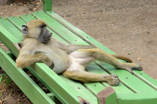 Chilled-out baboon kicks back and enjoys the sunshine
