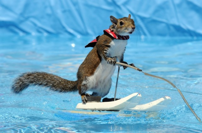 Twiggy the water-skiing squirrel makes comeback