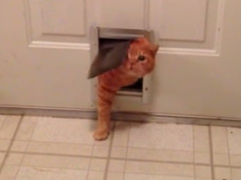 Garfield-esque cat can only just squeeze through tiny door