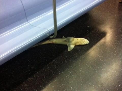 Dead shark found on New York subway