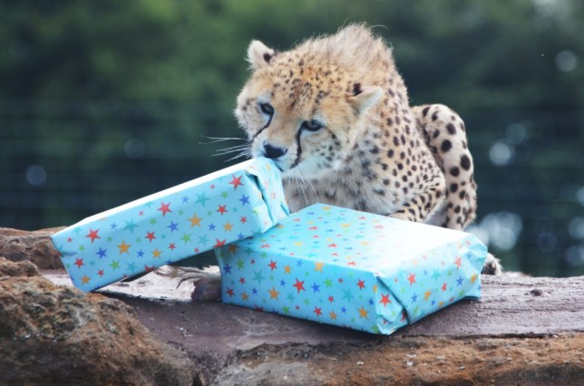 "Cheetah cubs turn one Celebrations for ZSL Whipsnade Zoo's sextuplets   ZSL Whipsnade Zoo's six cheetah cubs celebrated their first birthday in style - as keepers gave them a party they could really get their paws into.   Presents packed full of meaty treats were given to the sextuplets, along with a colourful cardboard cake - but like typical youngsters their preferred play things were the empty boxes and discarded wrapping paper!   The gifts were all part of the one-year-old cub's enrichment programme, designed to keep them active and spark their natural curiosity and playful natures.   Zookeeper Rosie Scott said: ""It's not often we get to celebrate six birthdays in one day, so we wanted to do something special for the cubs. They love investigating new things and had great fun working out how to reach the food inside their presents.""   The cubs are the second litter of Northeastern African cheetahs to be born at ZSL Whipsnade Zoo and are providing a valuable rearing experience for mum, Dubai, of this threatened species.    They were born two years after Dubai gave birth to her first cubs, which were the very first litter of Northeastern African cheetahs ever born in the UK."