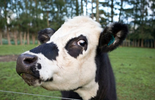 Cows blamed for powercuts in Llanddona, Anglesey