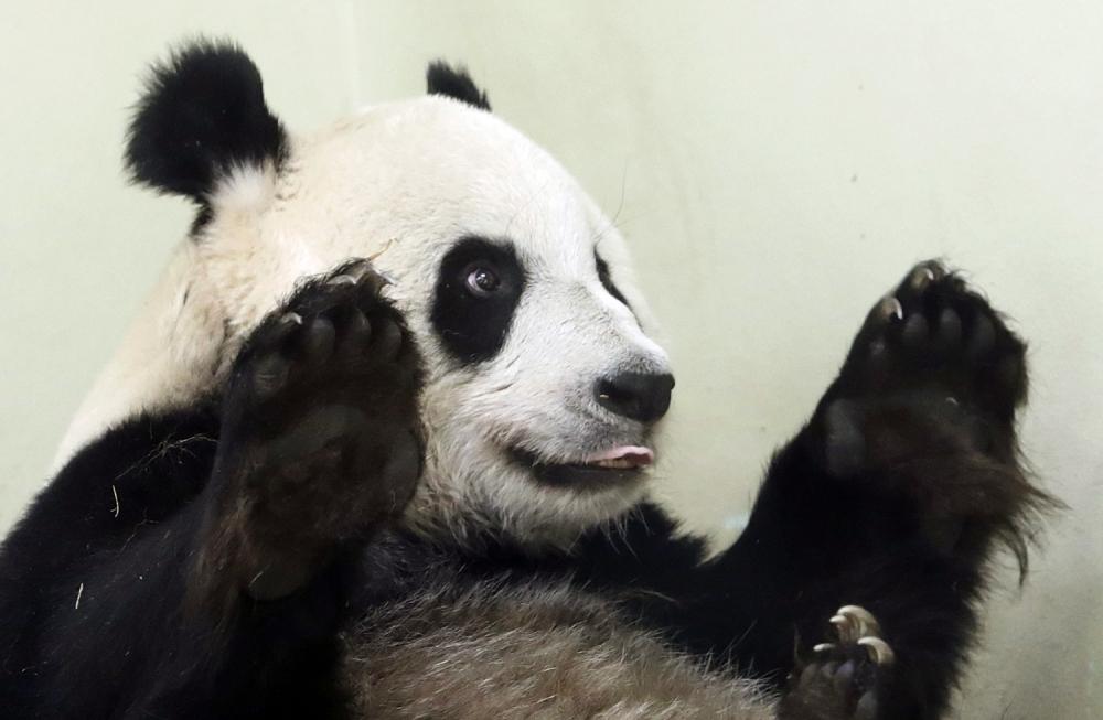 Edinburgh Zoo keepers anticipating historic birth of baby panda within two weeks