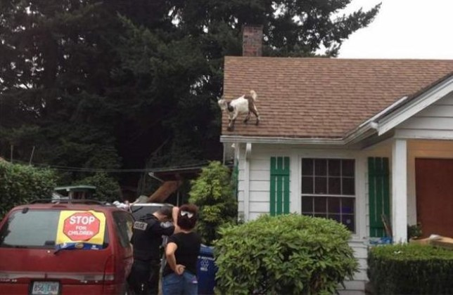 Police thwarted by goat stuck on roof in Gresham, Oregon