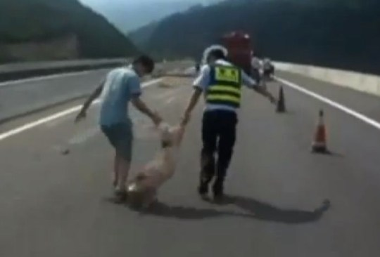 Piglet, traffic police