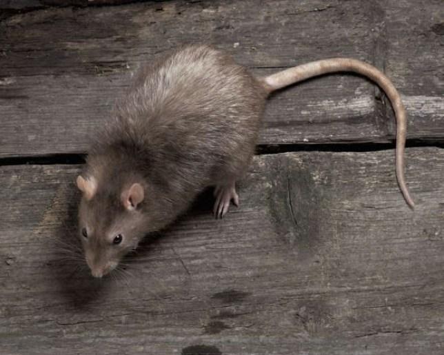 Rat, kebab