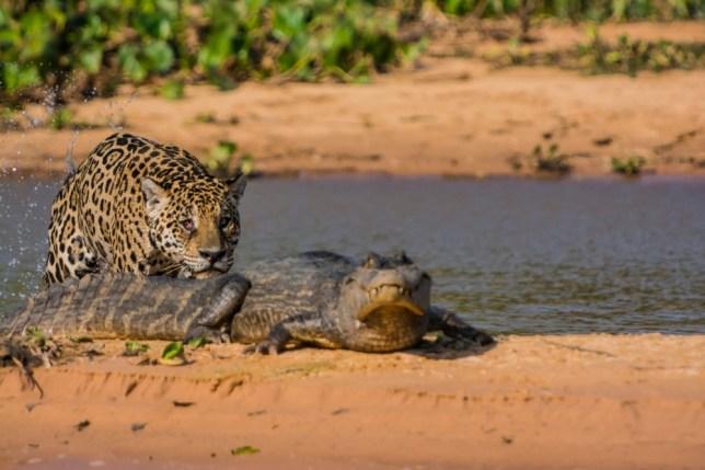Jaguar v caiman: Astonishing pictures capture jungle battle