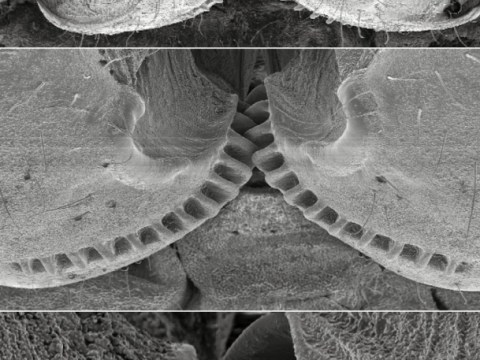 Bouncing bugs: Insects use 'gear system' to jump higher