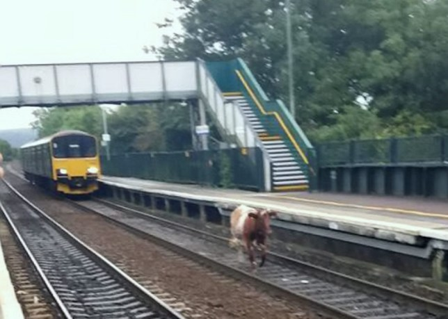 Cow on the tracks delays trains at Nailsea and Backwell station