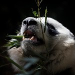 Category Two - Last Chance to See. Adult Highly Commended. TRANQUILITY by Tom Mayor (c) ZSL.jpg