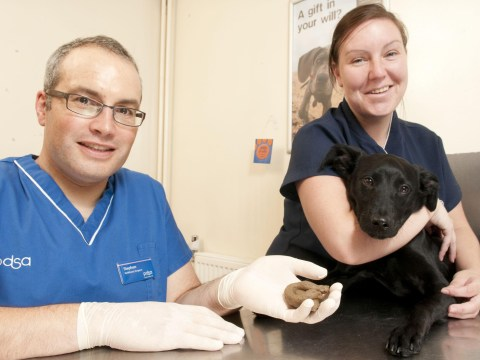 Poorly puppy Boo rushed to ER after eating fake poo that could have killed her