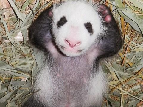 Baby panda that looks like David Cameron