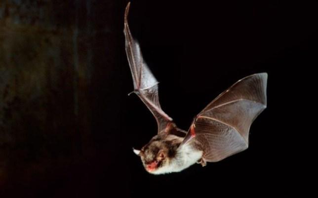 eLib_6029009.jpg  BEMFTC Daubenton's bat (Myotis daubentonii) in flight and hunting at night.  (Alamy)