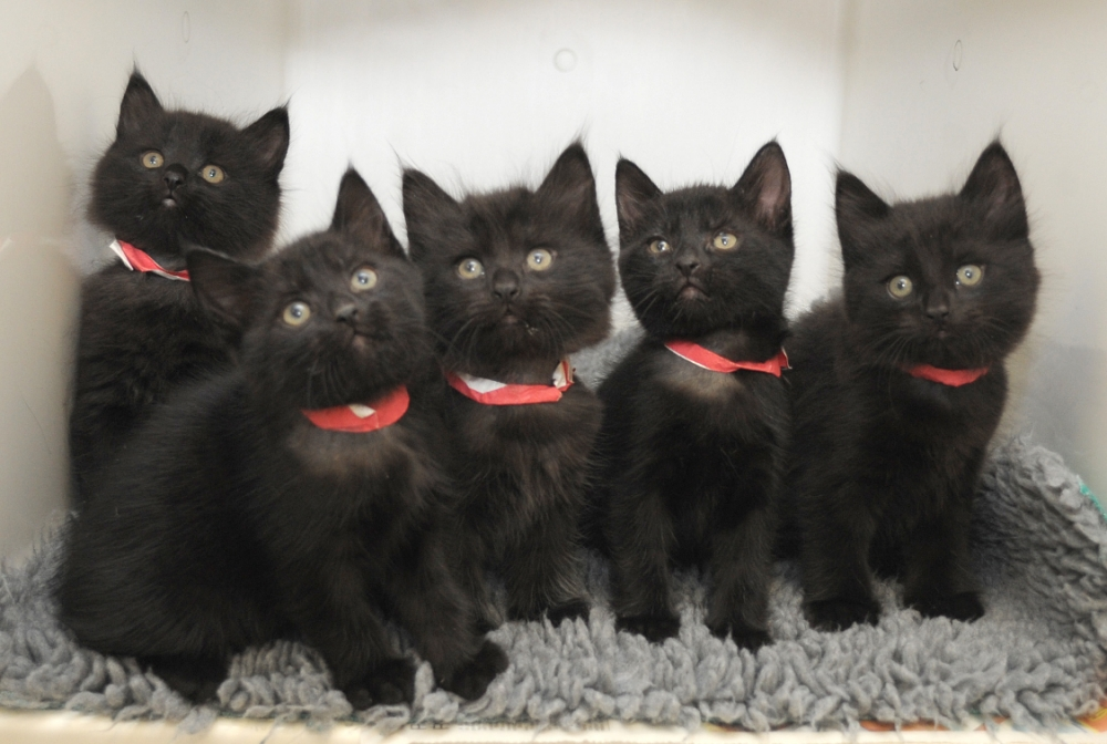 """TAKE me home¿ is the plea from these five cute kittens, dubbed One Direction by animal hospital staff after they were abandoned in a waiting room...Liam, Harry, Zayn, Louis and Niall hope that like their boy-band namesakes they will soon have an army of adoring fans queuing up to meet them...The black cats¿ bad luck will come to end if the right animal lovers cross their path and give them new homes ahead of Halloween...The moggies were heartlessly dumped at the Blue Cross charity¿s hospital in Merton, south London, during a busy afternoon this week ¿ a rare, but sadly not unique, occurrence...Deputy nurse manager Emmeline Macedo said: ¿As soon as we saw the five of them, with their scruffy hair and good looks, it was hard not to think of 1D ¿ they¿ve certainly got the X Factor...¿We¿re big fans of the group and it¿s been fun looking after them but they now need a loving home.¿..The cats are thought to be just seven weeks old and will be sent to one of Blue Cross¿ 12 rehoming centres with the hope that people will come forward and take them in...As soon as staff spotted the feline siblings, they took them to the hospital¿s kennels and gave them a pen and a meal. They have since had a check-up and are healthy...Emmeline added: ¿They are all doing well and are typical active, playful kittens...¿Black cats often take longer to rehome because they¿re not as popular, with Halloween coming up we really hope that it won¿t take long to find loving homes for these deserving kittens.¿..Between January and September this year, Blue Cross took in 2,234 stray and abandoned pets.n14.10.13n**MANDATORY CREDIT LONDON MEDIA**n©London Media Press Ltdn11a Printing House YardnLondon E2 7PRn0207 613 2548nn *** Local Caption *** ALL MATERIAL MUST BE CREDITED """"LONDON MEDIA"""". 100% SURCHARGE IF NOT CREDITED"""