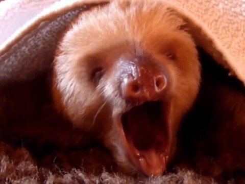 Yawning sloth totally nails I Will Always Love You