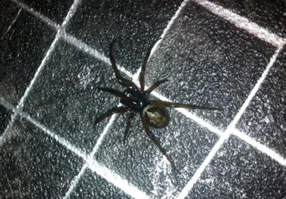 False widow spider nest discovery sparks school evacuation