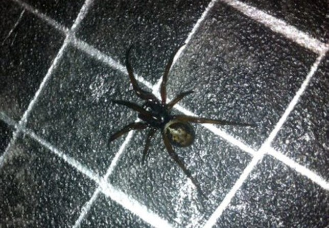 False widow spider nest discovery sparks school evacuation