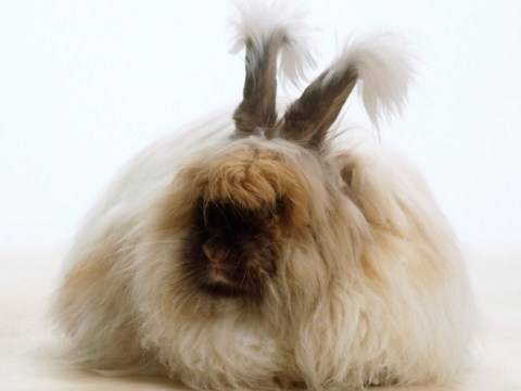 Angora rabbits: The cute, fluffy animals that double up as a cushion