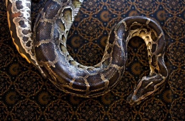 Terrified housewife discovers 2ft python inside her oven