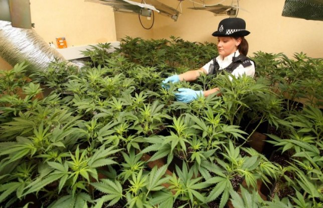 PC Chloe Snell, 21, examines a suspected cannabis factory in a h