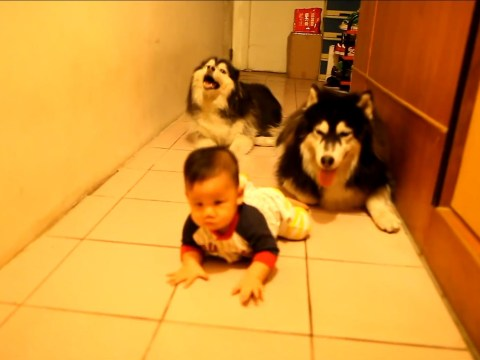 Video: Baby encouraged to walk by entourage of two huskies