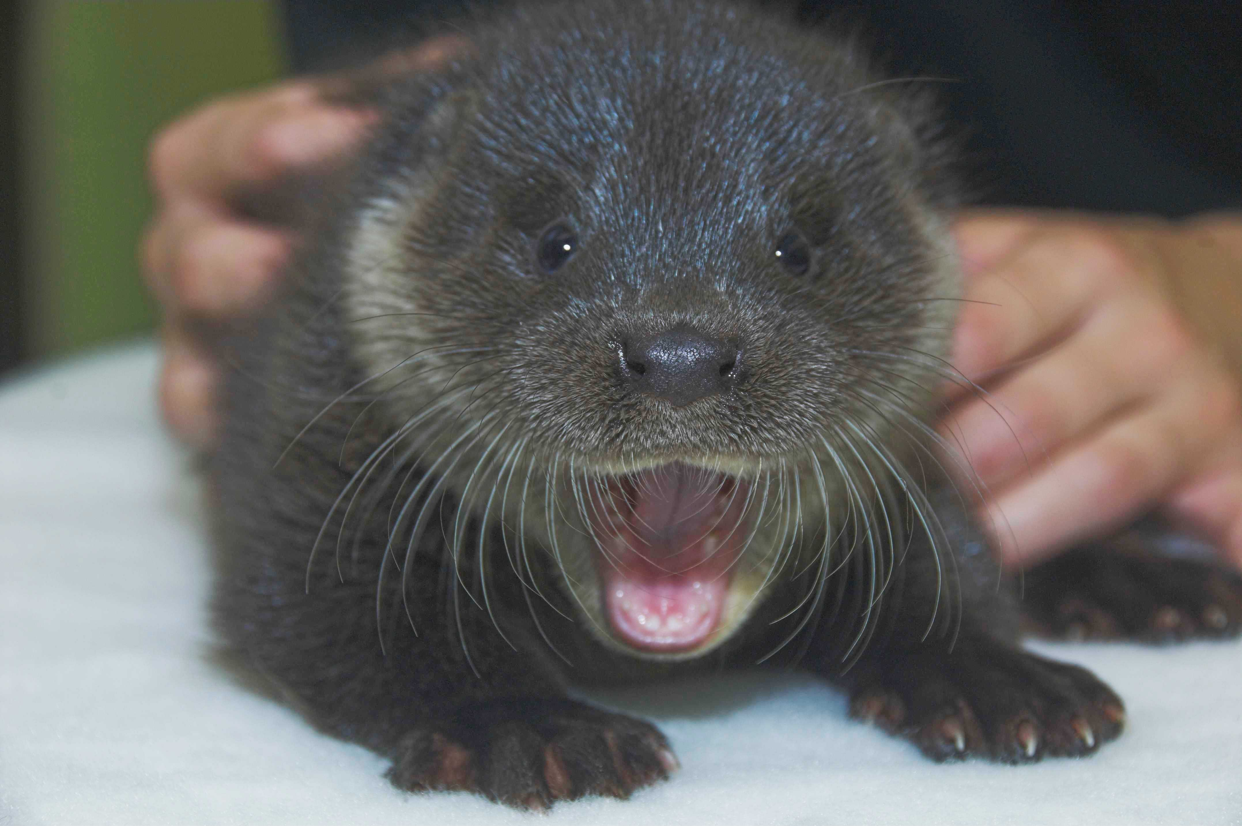 Orphaned otter cub rescued from Scottish street on the road to recovery