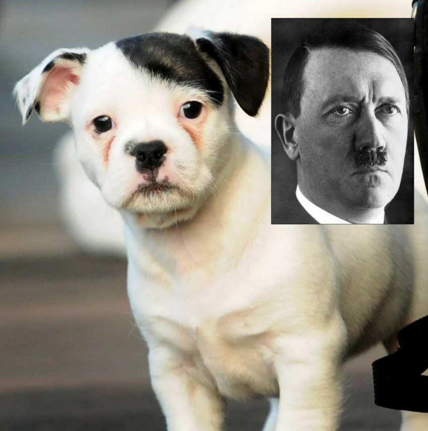 Meet Patch: The puppy that looks like Hitler