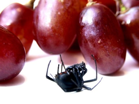 Woman finds two deadly black widow spiders in grapes bought from supermarket