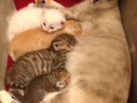 Cat gives birth to litter and then lends teat to baby squirrel