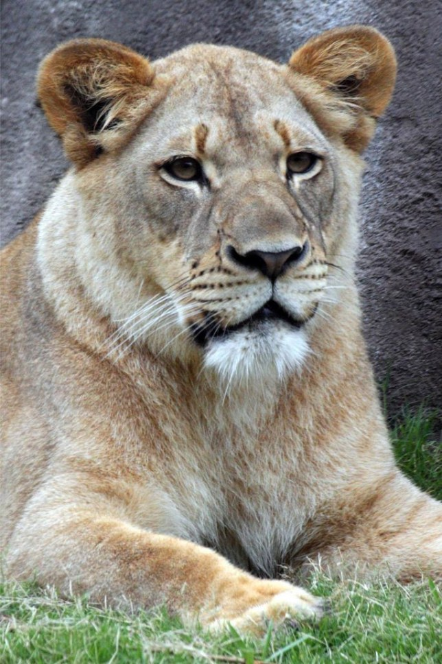 Dallas Zoo 'heartbroken' after lioness is mauled to death by two lions