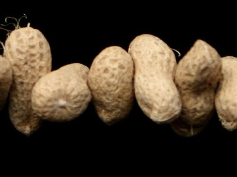 New treatment for peanut allergy declared a success