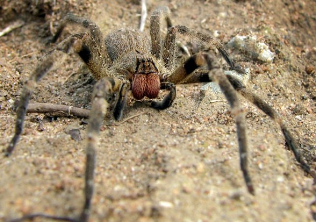A close up of the Brazilian wandering spider, which infested the home of the Taylors (Picture: WikiCommons/Techuser)