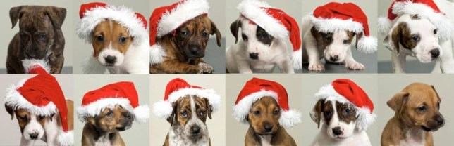 12 Dogs Of Christmas.12 Dogs Of Christmas Adorable Blue Cross Puppies Need New