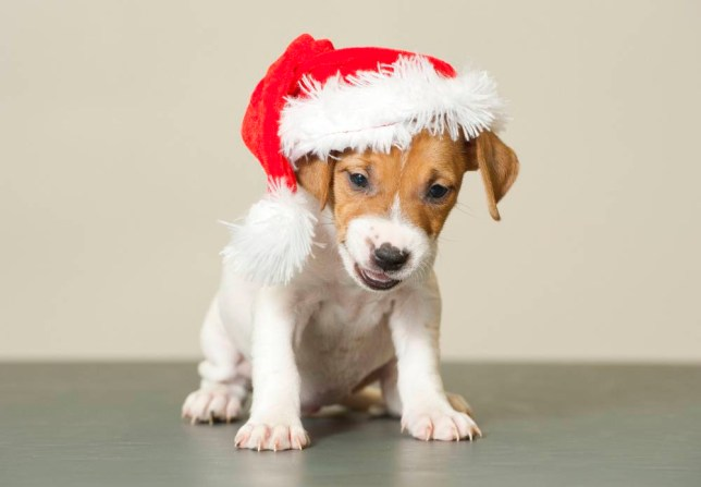 12 dogs of Christmas: Adorable Blue Cross puppies need new homes