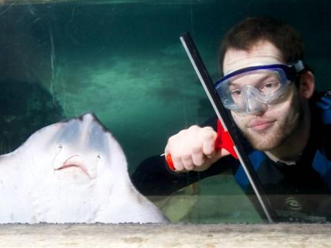 Large ray photobombs tank cleaner at London Aquarium