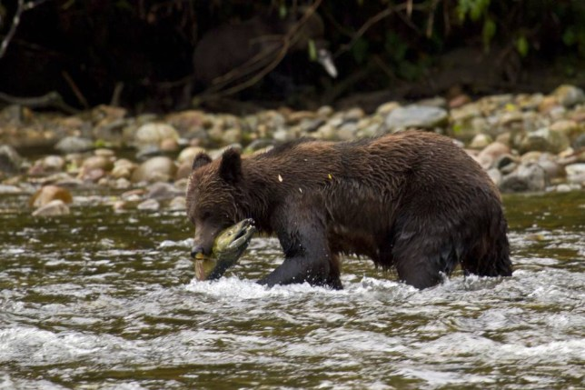 Be on the lookout for grizzlies (Picture: Paul Williams)