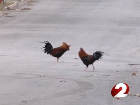Why did the chicken cross the road, angry Ohio neigbourhood asks