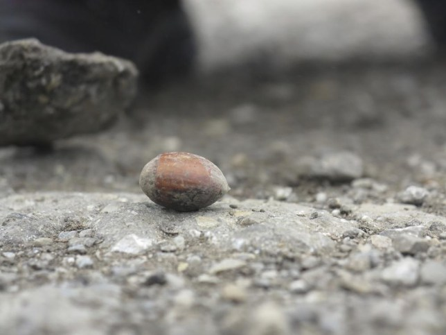 This is an acorn. It is not an 'eggcorn' (Picture: Snowflock)