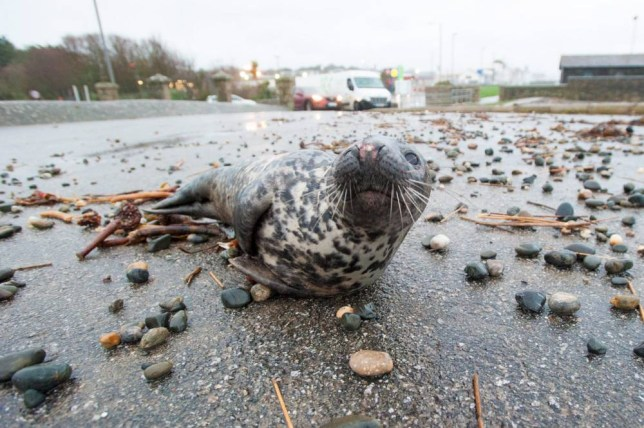 This seal was thrown over a 10m (30ft) sea wall by a violent storm in Cornwall (Picture: SWNS)
