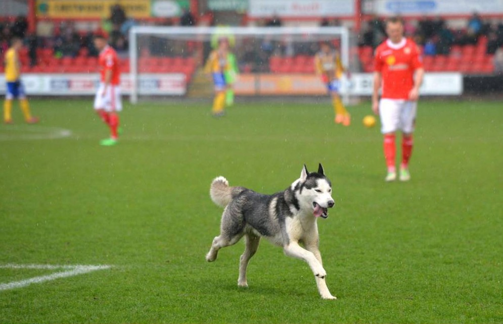 Football - Crewe Alexandra v Brentford - Sky Bet Football League One - Alexandra Stadium, Gresty Road - 15/2/14  A dog on the pitch during the match  Mandatory Credit: Action Images / Paul Currie  Livepic  EDITORIAL USE ONLY. No use with unauthorized audio, video, data, fixture lists, club/league logos or ìliveî services. Online in-match use limited to 45 images, no video emulation. No use in betting, games or single club/league/player publications.  Please contact your account representative for further details.