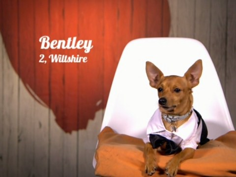 Bentley the chihuahua emerges as the unlikely star of Channel 4's First Dates