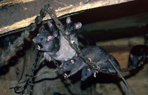 Rats bigger than sheep could roam Earth, says Dr Jan Zalasiewicz